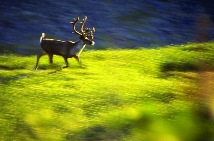 Mountain caribou - David Dodge