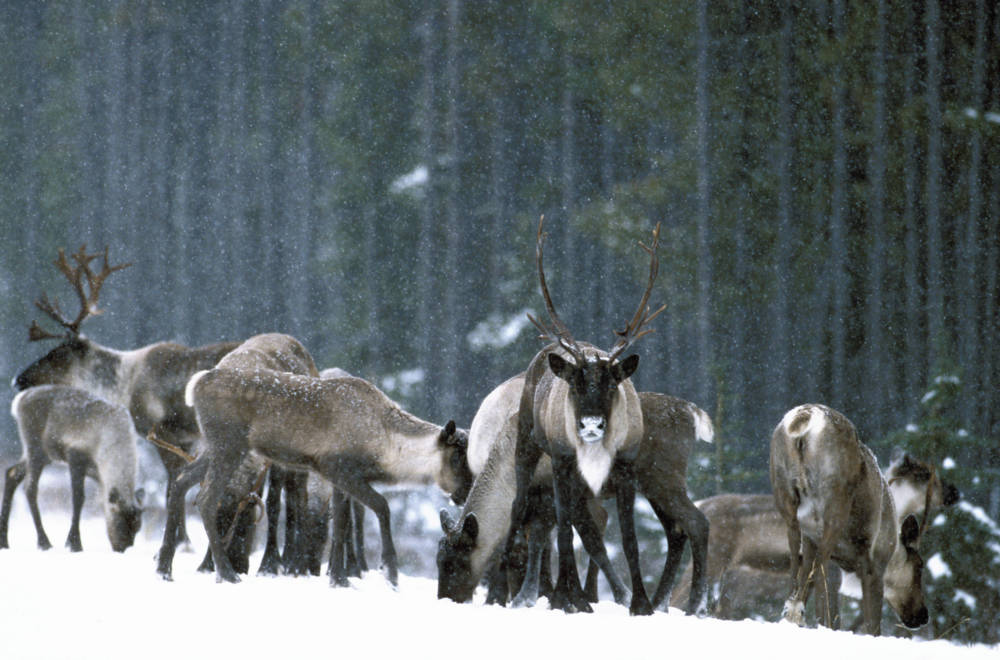 Mountain Caribou Project