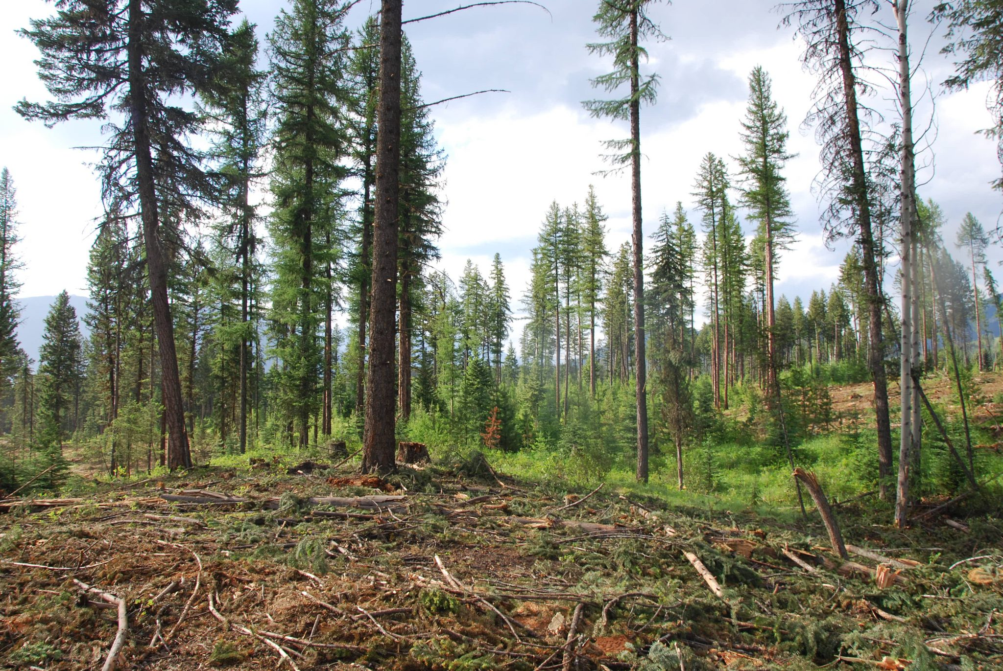 Wildlife tree patches are patches of leave trees within a logging block. They provide better habitat than individual scattered trees.