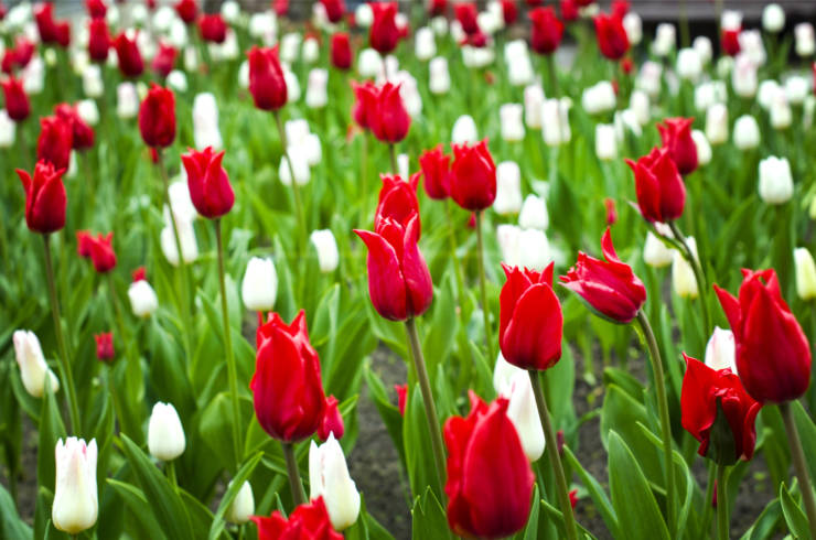 beautiful red and white tulips in the flower bed
