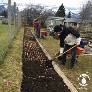 1400 Tulips were planted at the Fernie EcoGarden.